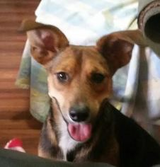 Rat Terrier Mix Dog For Adoption in Palm Harbor, FL