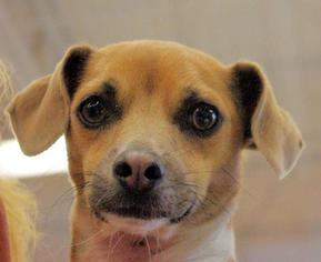 Chihuahua Mix Dog For Adoption in Longview, WA, USA