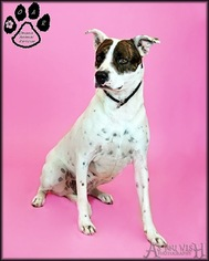 American Pit Bull Terrier Mix Dog For Adoption in Tempe, AZ