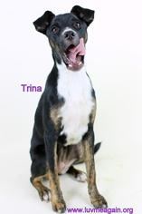 whippet terrier mix