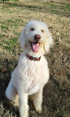 Poodle (Standard) Dog For Adoption in Pacolet, SC, USA