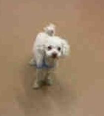 Poodle (Standard) dog