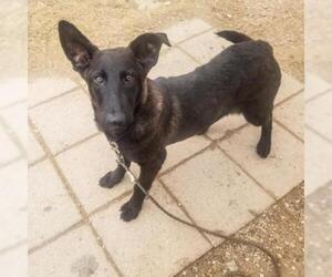 Chesapeake Bay Retriever Dogs for adoption in Austin, TX, USA