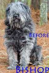 Bouvier Des Flandres Dogs for adoption in Griffin, GA, USA