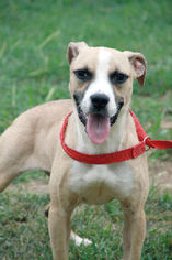 American Pit Bull Terrier Mix Dog For Adoption in Alton, IL, USA