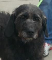 Irish Wolfhound Labrador Retriever Mix