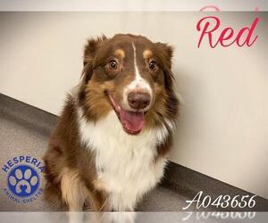 Australian Shepherd Dogs for adoption in HESPERIA, CA, USA