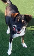 Labrador Retriever Mix Dog For Adoption in Newport Beach, CA, USA