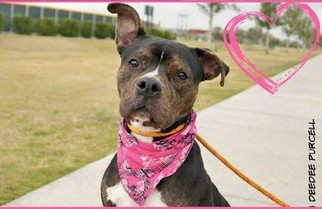 Bulloxer Dog For Adoption in Chandler, AZ, USA