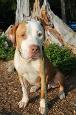 American Staffordshire Terrier-Mastiff Mix Dog For Adoption in Whitestone, NY, USA