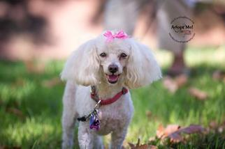 Poodle (Miniature) Dog For Adoption in Rancho Santa Margarita, CA, USA