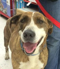 Bull Terrier Mix Dog For Adoption in Carson City, NV