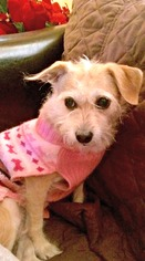 Cairn Terrier-Norfolk Terrier Mix Dog For Adoption in Redondo Beach, CA