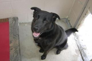 Labrador Retriever Mix Dog For Adoption in Crossville, TN, USA