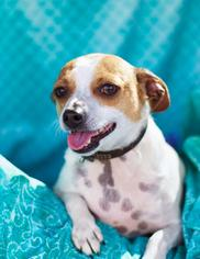 Chihuahua Mix Dog For Adoption in Campbell, CA, USA