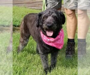 Aussiedoodle Dogs for adoption in Thomasville, NC, USA