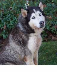 Siberian Husky Dog For Adoption in Walnut Creek, CA, USA