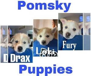 Pomsky Litter for sale in HAMMOND, IN, USA