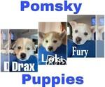 Small Pomsky