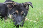 German Shepherd Dog Puppy For Sale in LAFAYETTE, IN, USA