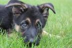 German Shepherd Dog Puppy For Sale in LAFAYETTE, IN, USA