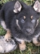 German Shepherd Dog Puppy For Sale in STANWOOD, WA, USA