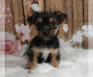 Chorkie Litter for sale in WARSAW, IN, USA