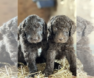 Goldendoodle Litter for sale in FLORA, IL, USA