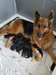 King Shepherd Puppy For Sale in PENSACOLA, FL, USA