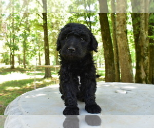 View Ad: Sheepadoodle Litter of Puppies for Sale near Georgia