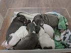 Italian Greyhound Puppy For Sale in FULLERTON, NE, USA