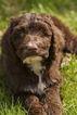 Australian Cobberdog Puppy For Sale in WESTVILLE, IN, USA