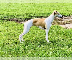 Whippet Litter for sale in CITRA, FL, USA