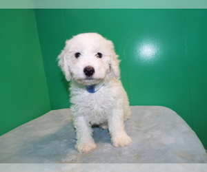 Bichon-A-Ranian-Poodle (Standard) Mix Litter for sale in PATERSON, NJ, USA