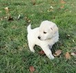English Cream Golden Retriever Puppy For Sale in BELLVILLE, OH, USA
