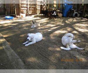 Anatolian Shepherd-Maremma Sheepdog Mix Litter for sale in LECANTO, FL, USA