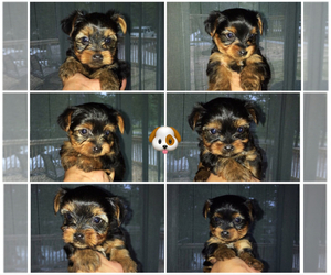 Yorkshire Terrier Litter for sale in COOLBAUGH TOWNSHIP, PA, USA