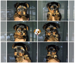 Yorkshire Terrier Puppy For Sale in COOLBAUGH TOWNSHIP, PA, USA
