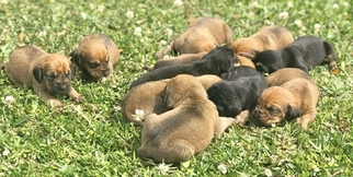 Bloodhound Litter for sale in GLEN SAINT MARY, FL, USA