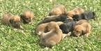 Bloodhound Puppy For Sale in GLEN SAINT MARY, FL, USA