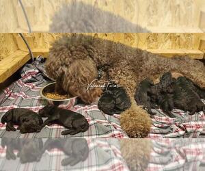 Poodle (Standard) Litter for sale in DEER PARK, WA, USA