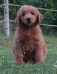Goldendoodle Puppy For Sale in WARSAW, IN, USA