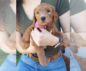 Goldendoodle Litter for sale in CONCORD, CA, USA