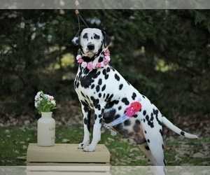 Dalmatian Litter for sale in CAMBRIA, VA, USA