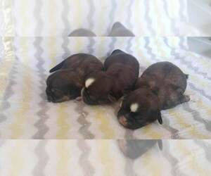 Shih Tzu Litter for sale in BETHEL, MN, USA