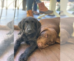 Labradoodle Litter for sale in MIDDLESEX, NC, USA