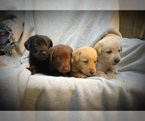 Labrador Retriever Litter for sale in BURLINGTON, NJ, USA