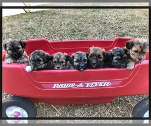 Shih-Poo Litter for sale in BOWLING GREEN, KY, USA