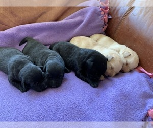 Labrador Retriever Litter for sale in CLEARWATER, ID, USA