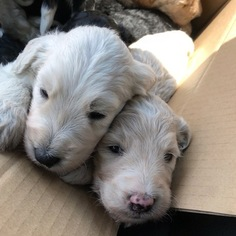 Labradoodle Puppy For Sale in AUSTIN, TX, USA